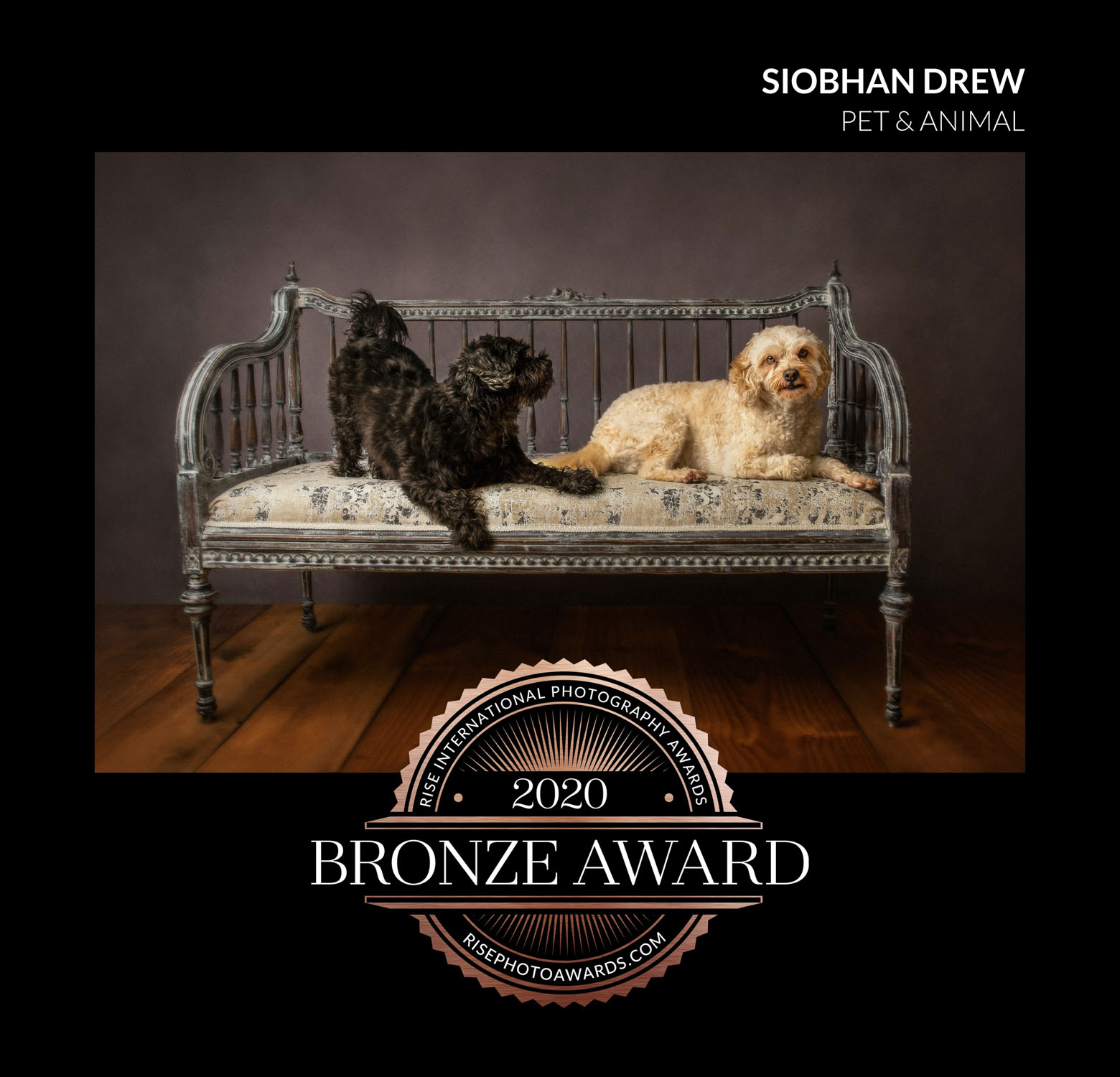 two dogs on couch by auckland dog photographer siobhan kelly photography
