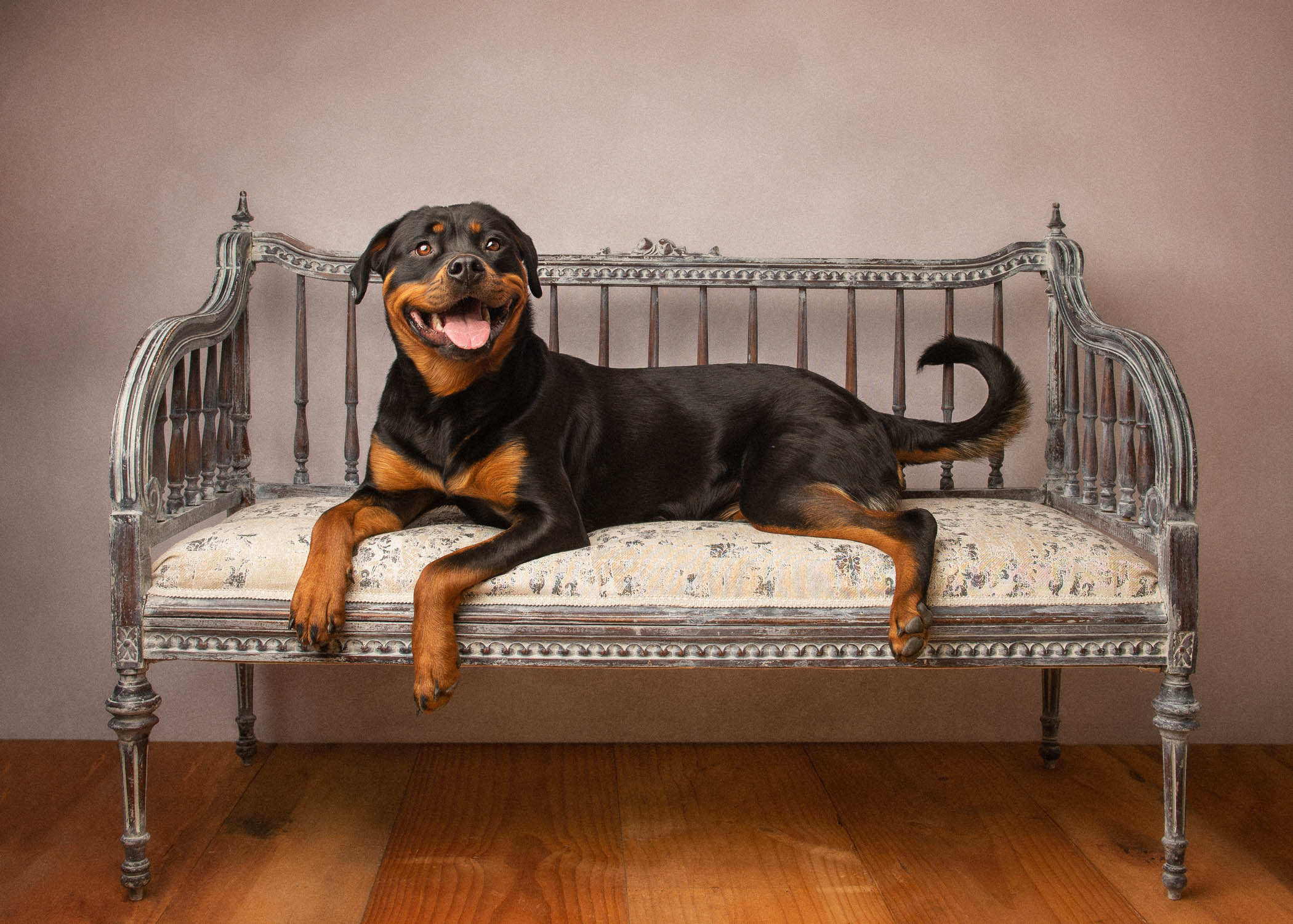 dog on couch by dog photographer siobhan kelly photography
