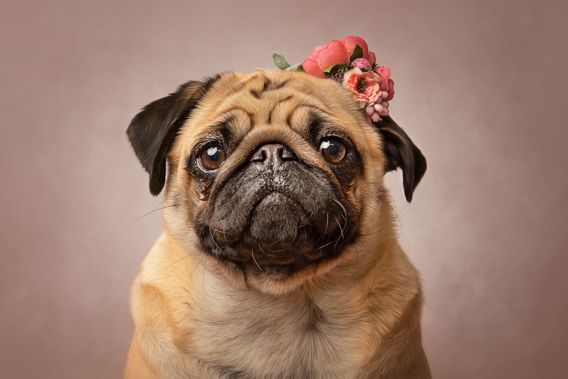 dog portrait by auckland pet photographer siobhan kelly photography