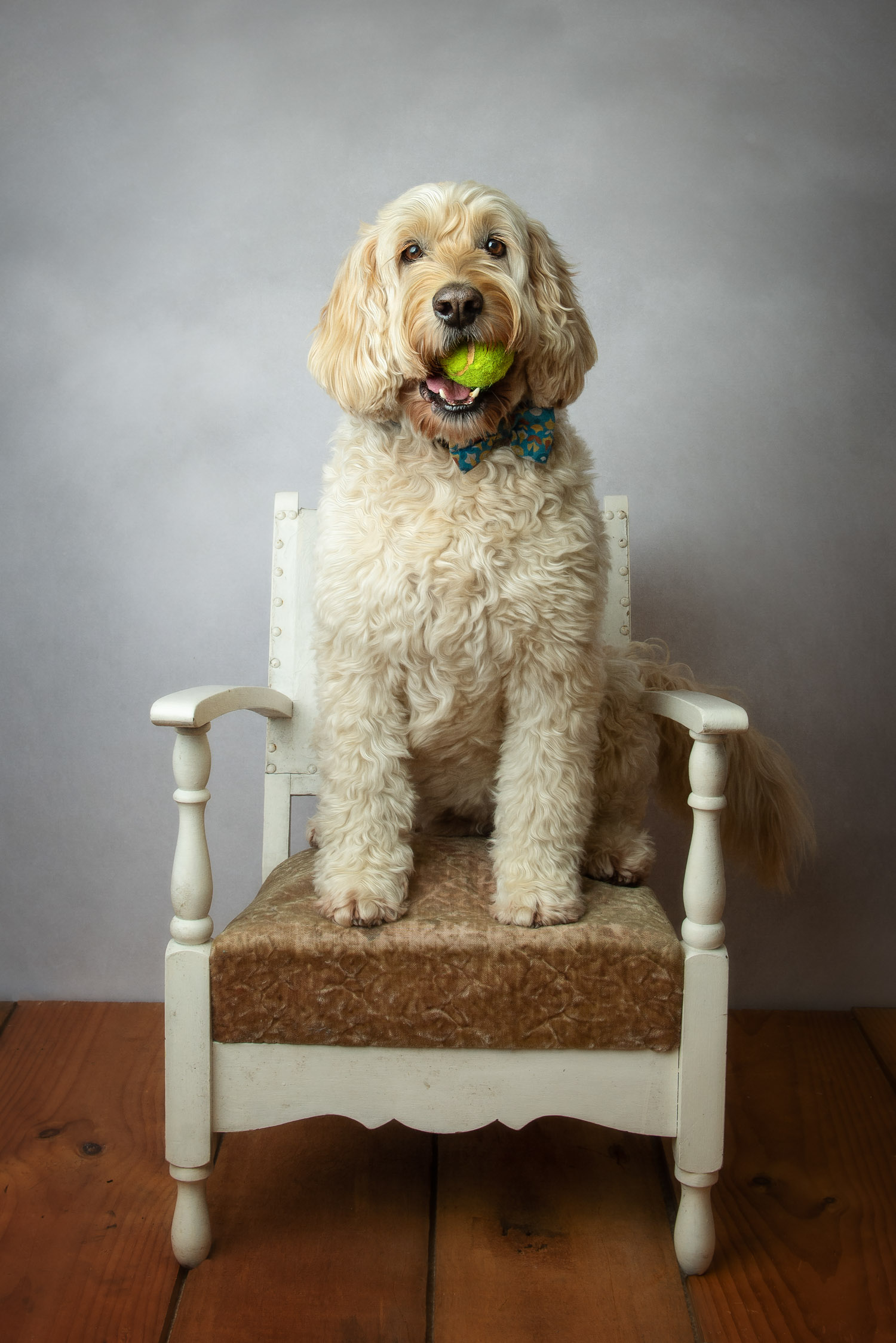 dog with ball by auckland dog photographer siobhan kelly photography